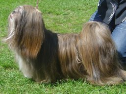 Our champions Lhasa Apso - C.I.B. REVIVAL Ivepet