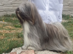 Our champions Lhasa Apso - CH.JCH. GEORGE CLOONEY Ivepet