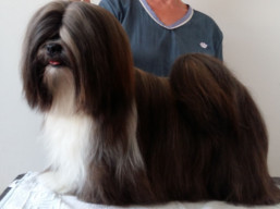 Our champions Lhasa Apso - CH.JCH. GRETA GARBO Ivepet