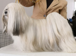 JCH. GWYNETH PALTROW Ivepet, Lhasa Apso