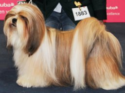 C.I.B. GrCH. KENZO IVEPET Lhamco Laco, Lhasa Apso