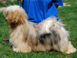 LUCY Yangadoo's IVEPET, Lhasa Apso