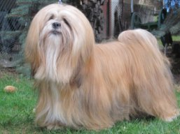 JCH. READY FOR LIFE Ivepet, Lhasa Apso