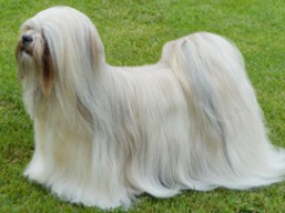 Our champions Lhasa Apso - C.I.B. XANTHE Ivepet