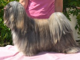 Our champions Lhasa Apso - JCH. VANDA Ivepet