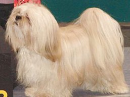 CH. HIGH HOPES Ivepet, Lhasa Apso