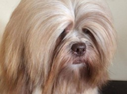 EVERYTHING FOR YOU Ivepet, Lhasa Apso
