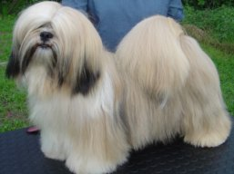 MultiJCH. AMOR IVEPET Lhamco Laco, Lhasa Apso