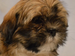 HERMES Ivepet, Lhasa Apso