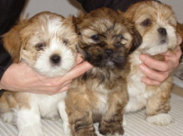 Puppies are here !!!, Lhasa Apso