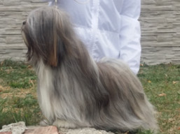 CH. JCH. GEORGE CLOONEY Ivepet, Lhasa Apso