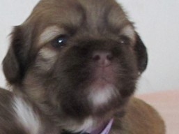 E Litter, Lhasa Apso Puppies