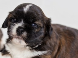 F Litter, Lhasa Apso Puppies