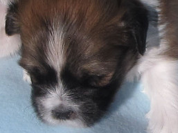 G Litter, Lhasa Apso Puppies