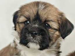 H Litter, Lhasa Apso Puppies
