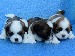 J Litter, Lhasa Apso puppies