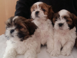 K Litter, Lhasa Apso Puppies