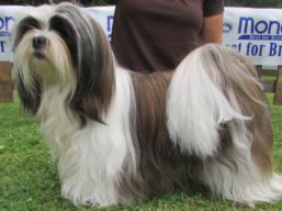 Our champions Lhasa Apso - C.I.B. WITH YOU FOREVER Ivepet