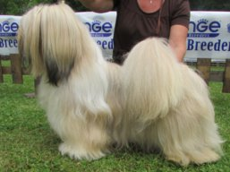 Our champions Lhasa Apso - MultiJCH. AMOR IVEPET Lhamco Laco