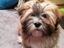 GWYNETH PALTROW Ivepet, Lhasa Apso