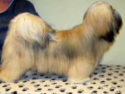 JCH.GWYNETH PALTROW Ivepet, Lhasa Apso