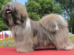 GEORGE CLOONEY Ivepet, Lhasa Apso