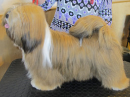 http://www.lhasaapso-ivepet.sk/preview/vyst_694.jpg