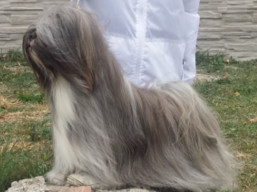 JCH. GEORGE CLOONEY Ivepet, Lhasa Apso