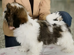 http://www.lhasaapso-ivepet.sk/preview/vyst_711.jpg