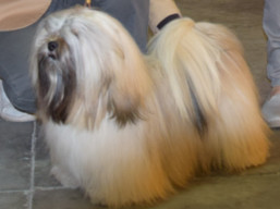 http://www.lhasaapso-ivepet.sk/preview/vyst_717.jpg