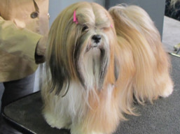 http://www.lhasaapso-ivepet.sk/preview/vyst_739.jpg
