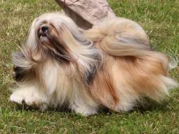 CH. BISS. ARMANI IVEPET Latgate, Lhasa Apso