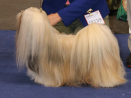 BISS. CH. ARMANI IVEPET Latgate, Lhasa Apso