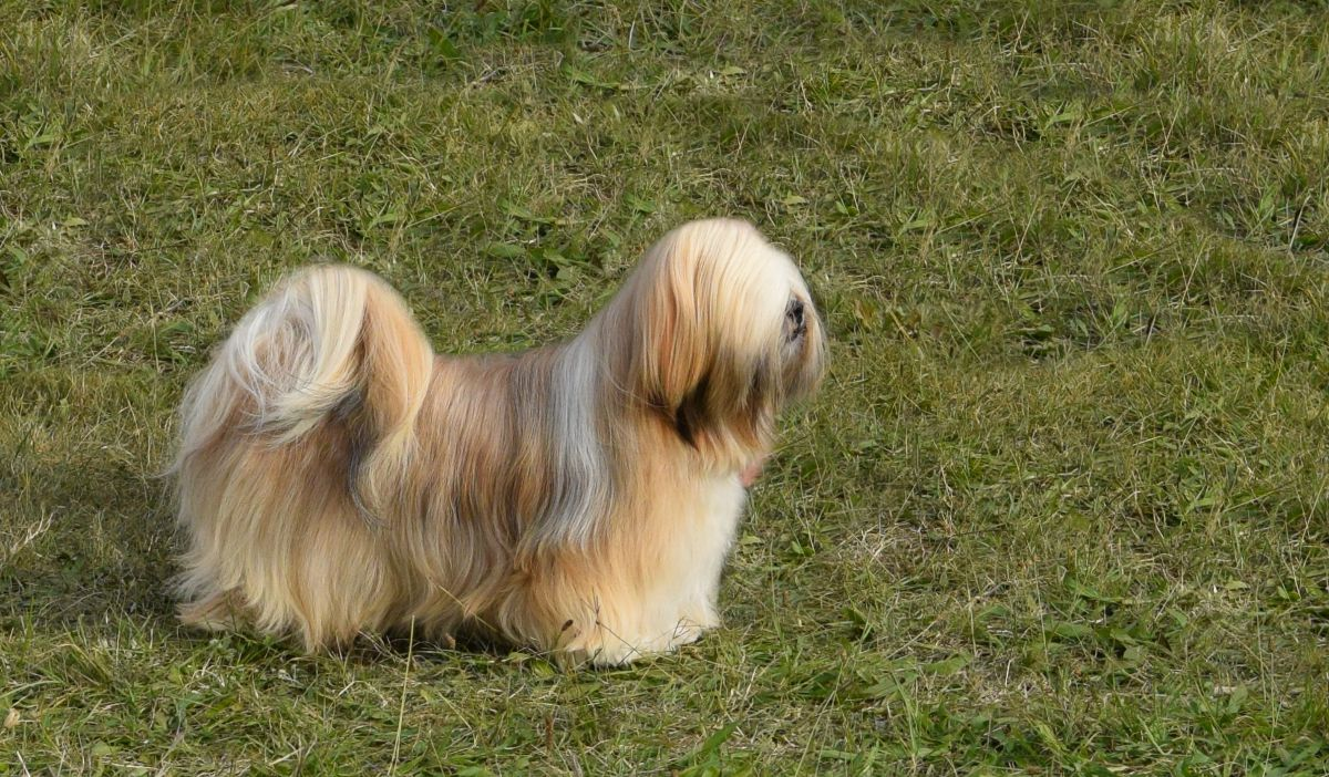 JCH. CANDY CANE Ivepet, Lhasa Apso