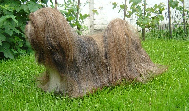 C.I.B. Close To Perfection RE CLAIM, Lhasa Apso