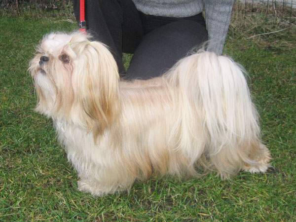 CH. JCh. HIGH HOPES Ivepet, Lhasa Apso