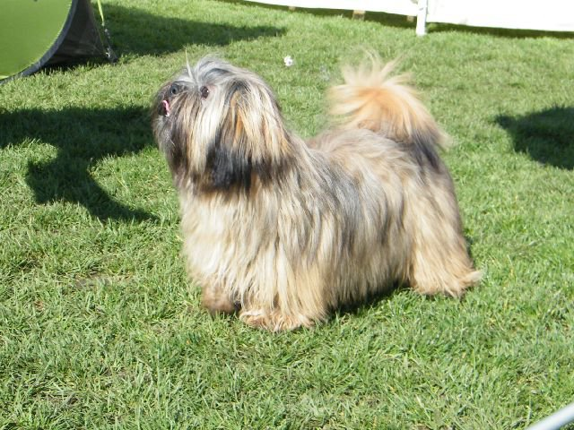JCH. MOON SHINE Ivepet, Lhasa Apso