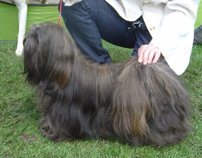 CH. YANGADOO'S Quick Step to IVEPET, Lhasa Apso