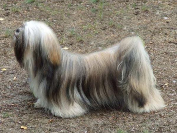 BERRY-BERRY Ivepet, Lhasa Apso
