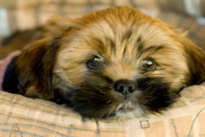 Puppies .., Lhasa Apso